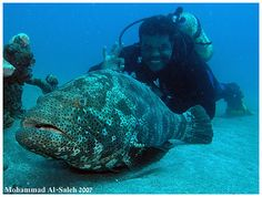 grouper fish with diver