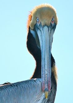 Brown pelicans are a common sighting along the coastal areas of S and W United States. (Dave Gibson)