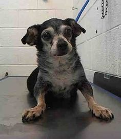 SAFE --- GIDY (A1674602) I am a female black and white Chihuahua - Smooth Coated.  The shelter staff think I am about 8 years old.  I was found as a stray and I may be available for adoption on 01/27/2015. — hier: Miami Dade County Animal Services. https://www.facebook.com/urgentdogsofmiami/photos/pb.191859757515102.-2207520000.1422133713./915316761836061/?type=3&theater