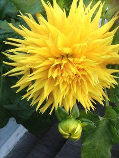 Yellow Perennials, Zinnias, Garden Beds, Gardening Tips, Flora, Bouquets, Plants, Tulips, Gardens