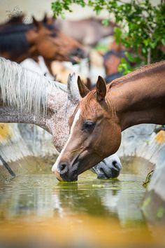 Horses getting a cool drink of water.