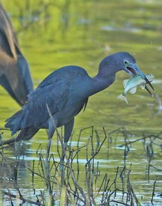 Practical urban exploration blog on the Trinity River  Little Blue Heron with a Largemouth Bass at the Lower Chain of Wetlands