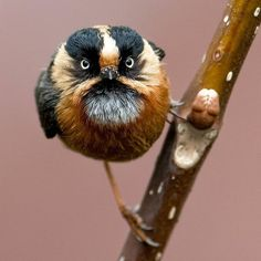 This real life angry bird (rufous-fronted bushtit) is found in the eastern and central Himalayas in Bhutan, China, India and Nepal. Pretty Birds, Love Birds, Beautiful Birds, Animals Beautiful, Exotic Birds, Colorful Birds, Bird Pictures, Animal Pictures, Animals And Pets