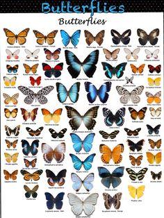 Butterfly Species (4)