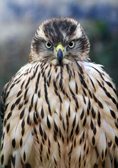 """All of the accipiters can be difficult to train, but the goshawk is the worst, because it's so big and strong and fierce. There's even a falconry term called 'yarak,' which refers to a state of bug-eyed, murderous intensity goshawks get into sometimes."" Photo of Mabel the goshawk in her first year, courtesy Helen Macdonald."