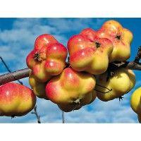 "Apple around since Roman times, ""Apistar"" has fruit with 5 distinct edges"