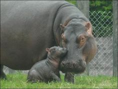 I don't know why I love hippos. I just know I do. :)