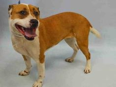JO – A0883261 **RETURNED 05/09/16** FEMALE, RED / WHITE, AUST CATTLE DOG / AM PIT BULL TER, 5 yrs OWNER SUR – ONHOLDHERE, NO HOLD Reason COST Intake condition EXAM REQ Intake Date 05/09/2016, From NY 11421, DueOut Date 05/09/2016,