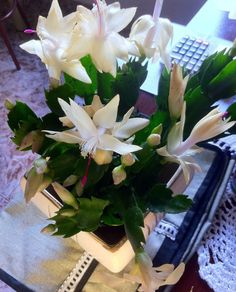 Bom dia amigos plantadores! 😊  Tem flor de maio bem linda por aqui. Essa é de nossa amiga Lu, que é apaixonada por essas belezinhas. Pudera né. Como não ficar encantado com essa espécie encantadora? 😍  Quer ver sua amiguinha aqui no nosso Instagram também? Mande a foto pra gente via direct ou use a tag #lojaplantei e compartilharemos aqui. 🌸  Tenham todos uma ótima terça-feira! 💚