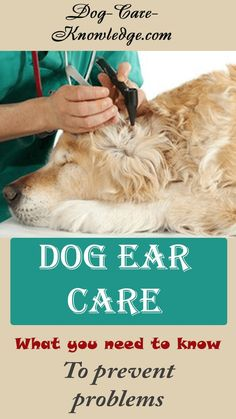 Try these dog ear care tips to keep your dog or puppy's ears in tip-top condition and know what to look for to prevent problems.