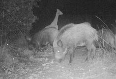 Wild Wood en Provence: a herd of wild boar