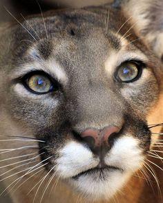 Resultado de imagem para mountain lion face drawing
