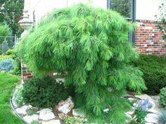 Pinus Strobus 'Angel Falls'