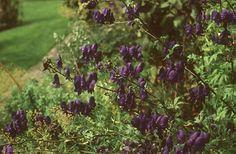 Katika-sisakvirág (Aconitum napellus, Ranunculaceae) (Turcsányi Gábor felvétele)