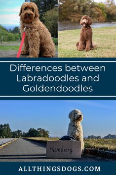 Goldendoodle vs Labradoodle, differences do exist between these two large, fluffy dogs. Read our guide to find out the lazier one out of the two and learn about the different sizes available for the two breeds and their puppy versions. #goldendoodlevslabradoodledifferences #goldendoodlevslabradoodle #labradoodlevsgoldendoodle