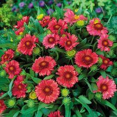 Gaillardia Arizona Red Shades 1