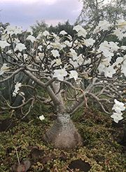 Pachypodium decaryi