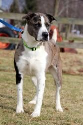 MAGNUM is an adoptable Catahoula Leopard Dog Dog in Ashland, OH. MAGNUM CAME IN AS A STRAY, NO BACKGROUND INFORMATION. HE IS APPROXIMATELY 2 1/2 YEARS OLD, CAGE TRAINED AND NEUTERED. hE IS A NICE BOY,...
