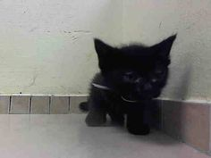 TO BE DESTROYED 5/31/14Brooklyn CenterMy name is PRINCE. My Animal ID # is A1001194.I am a male black domestic sh. The shelter thinks I am about 4 WEEKS old.I came in the shelter as a STRAY on 05/27/2014 from NY 11208, owner surrender reason stated was STRAY. I came in with Group/Litter #K14-178920.