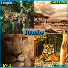 Big Cats - PowerPoint and Activities Bundle Science Lessons, Science Activities, Classroom Activities, Elementary Science, Elementary Schools, Upper Elementary, Independent Reading, Problem Solving Skills, Cheetahs