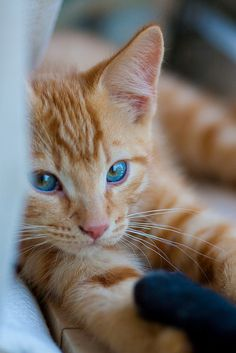 This precious little kitten has the most amazing eyes. Blue , Green , Yellow all blending to an incredible ensemble created by our loving GOD.