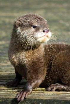 Four of the world's smallest otters have been born and successfully reared at the UK's Blackpool Zoo for the first time in its history. The quartet of Asian Small Clawed Otters are now out and about after spending their first. Animals And Pets, Baby Animals, Funny Animals, Cute Animals, Baby Giraffes, Wild Animals, Otters Cute, Baby Otters, Especie Animal