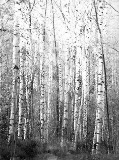 Koivikko-sisustusjuliste, mustavalkoinen juliste, mustavalkoinen sisustus  www.miaogalleria.com