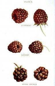 Botanical - Fruit - Biggles Berry Book -1899 - Raspberry