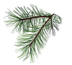 Pine branch, possibly for my dedication tattoo.