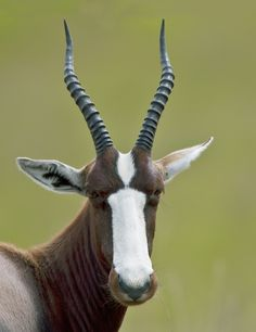 """""""'The Rarest Antelope in Africa.' This is a Bontebok, a member of a species that represents possibly the greatest conservation project ever. In 1931, 84 survivors were moved into Bontebok National Park, in the Western Cape where this image was taken. There are now in excess of 2,000 in a variety of South African National Parks and private game farms."""" Photo by Ken Watkins, via 500px."""
