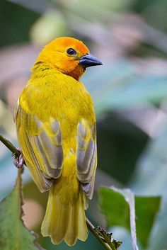 Palm Golden Weaver by Kevin B Agar, via Flickr
