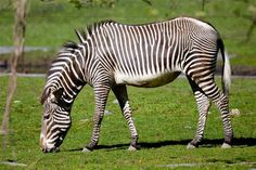 The largest species of zebra is the Grevy's zebra, weighing 779-900+ lbs and 9 ft in length. Description from northrup.org. I searched for this on bing.com/images