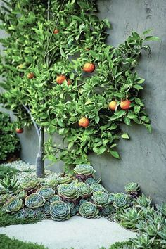 an espalier tangerine tree is surrounded by succulents at its base l Scott Shrad. - an espalier tangerine tree is surrounded by succulents at its base l Scott Shrader Informations Abou -