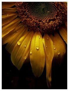 sunflowerrr
