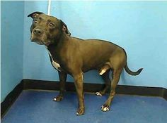 SUPER URGENT 3/12/14 Manhattan Center   EIGHT BALL - A0927001 *** RETURNED ON 3/12/14 ***  MALE, CHOCOLATE / WHITE, PIT BULL MIX, 12 yrs OWNER SUR - EVALUATE, NO HOLD Reason DESTRUCTIV  Intake condition GERIATRIC Intake Date 03/12/2014, From NY 10453, DueOut Date 03/12/2014 https://www.facebook.com/photo.php?fbid=771075396238675&set=a.617942388218644.1073741870.152876678058553&type=3&theater
