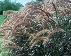 Graceful Grasses® Purple Fountain Grass Pennisetum setaceum 'Rubrum'