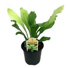 "Japanese Bird's Nest Fern - 4"""" Pot - Asplenium - Easy to Grow Houseplant"