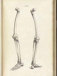Leg bones, from William Cheselden's Osteographia, NLM Call no. Human Skeleton Anatomy, Human Anatomy Drawing, Leg Anatomy, Anatomy Art, Anatomy Reference, Art Reference, Bone Drawing, Anatomy Sculpture, Leg Bones