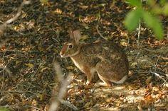 Tres Marias rabbit