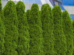 thuja green giant is the perfect fast growing privacy bush Fast Growing Privacy Shrubs, Shrubs For Privacy, Fast Growing Shrubs, Privacy Trees, Privacy Landscaping, Fence Trees, Outdoor Privacy, Privacy Fences, Fencing