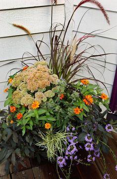purple fountain grass, sedum and zinnia, black sweet potato vine, a golden carex and verbena