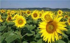 Sunflowers...can I just live here??