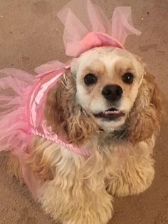 cocker spaniel in princess costume