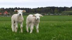 Op de waddendijk 2 mei 2014 Lamb, Baby Sheep