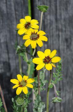 Chokladkrage, Berlandiera lyrata | Doftande ett-flerårig blomma. Växtläge: sol. Höjd: 30 cm. Lysande gula blommor med chokladbruna stjälkar och en tydlig doft av choklad. Odlas mest för den fantastiska doftens skull. Flerårig nordamerikansk vildblomma som blommar första året. Bäst i varma växtlägen. Övervintras frostfritt. Såtid: feb-mar. Grotid: 10-30 dagar. Blomtid: jul-sept.