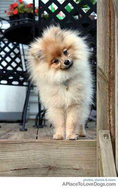 cute pomeranian at the top of the stairs