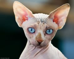sphynx by Michael Fauscette on Gatos Devon Rex, Devon Rex Cats, Puppies And Kitties, Cats And Kittens, Hairless Kitten, Gatos Cool, Cornish Rex Cat, Sphinx Cat, Mean Cat