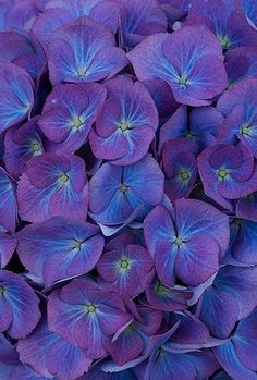 Beautiful Blue Flowers Of Hydrangea Macrophylla 'Renate Steinger' by Clive Nichols Photographic Print Magnolia Box Size: Extra Large Hortensia Hydrangea, Hydrangea Macrophylla, Hydrangea Garden, Blue Hydrangea, Hydrangeas, Foto Macro, All Things Purple, Horticulture, Purple Flowers