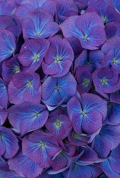 Hydrangea macrophylla 'Renate Steinger'- Flickr - Photo Sharing!