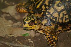 Eastern Box Turtle - Four Mills Reserve - 2006 Eastern Box Turtle, Tortoises, Turtles, Tortoise, Turtle